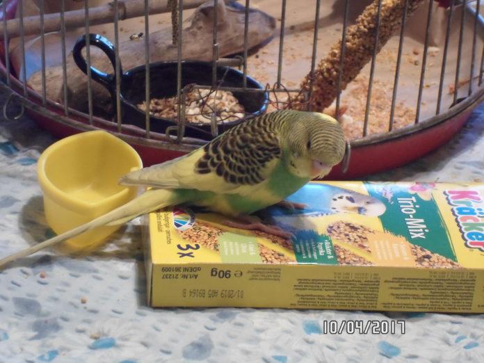 Znaleziono papużkę na ul. Matejki, szukamy właściciela