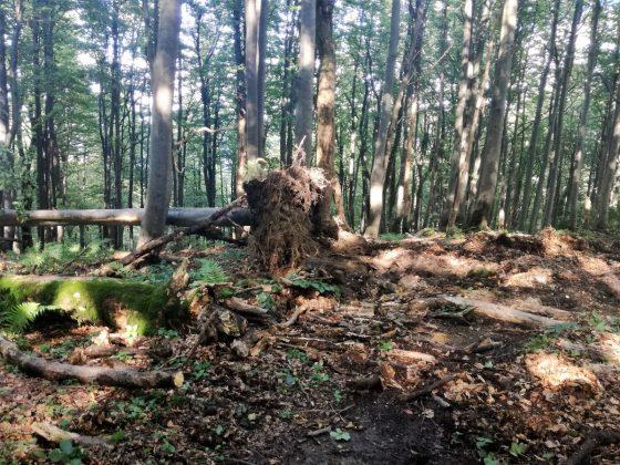 IMG 20170808 162801 560x420 - Właśnie trwa dewastacja lasu w sercu Bieszczad - Hyrlata