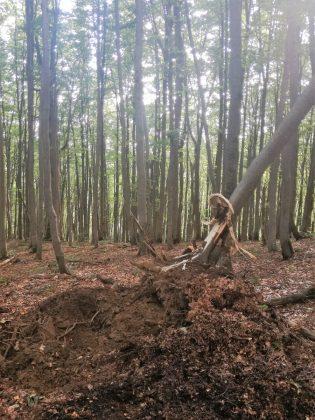 IMG 20170808 212413 315x420 - Właśnie trwa dewastacja lasu w sercu Bieszczad - Hyrlata