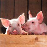 Zagrożenie Afrykańskim pomorem świń