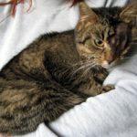 Feluś, kot po przejściach, szuka domu