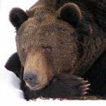 Bieszczadzkie niedźwiedzie budzą się ze snu
