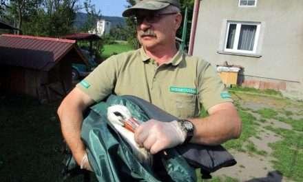Strażnicy leśni ratowali bociany rażone prądem