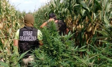Plantacja marihuany w polu kukurydzy