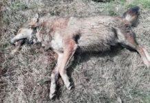 W Jędruszkowcach znaleziono zagryzionego wilka