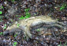 Martwy dzik znaleziony naterenie Sanoka