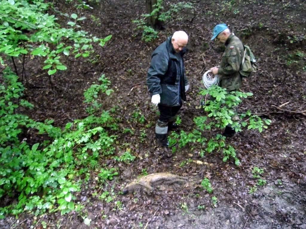martwy dzik 1024x768 - Martwy dzik znaleziony naterenie Sanoka