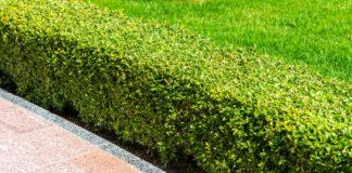 5 idealnych roślin na żywopłot – czy znasz je wszystkie?