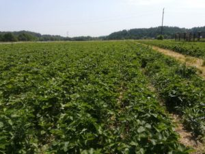 Ryzykownie ismacznie truskawkowe pole 2 300x225 - Ryzykownie ismacznie: truskawkowe pole