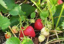 Ryzykownie i smacznie truskawkowe pole 218x150 -