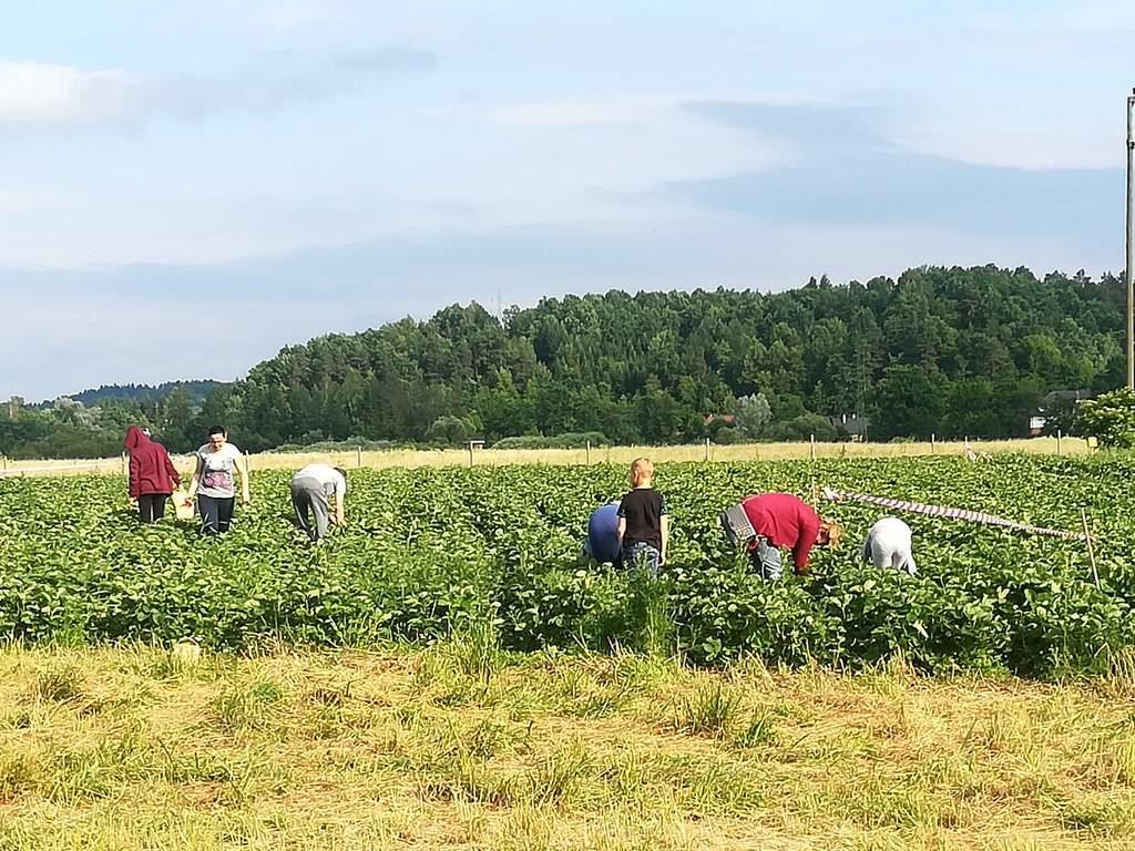 Ryzykownie i smacznie truskawkowe pole 3 1024x768 - Ryzykownie i smacznie: truskawkowe pole