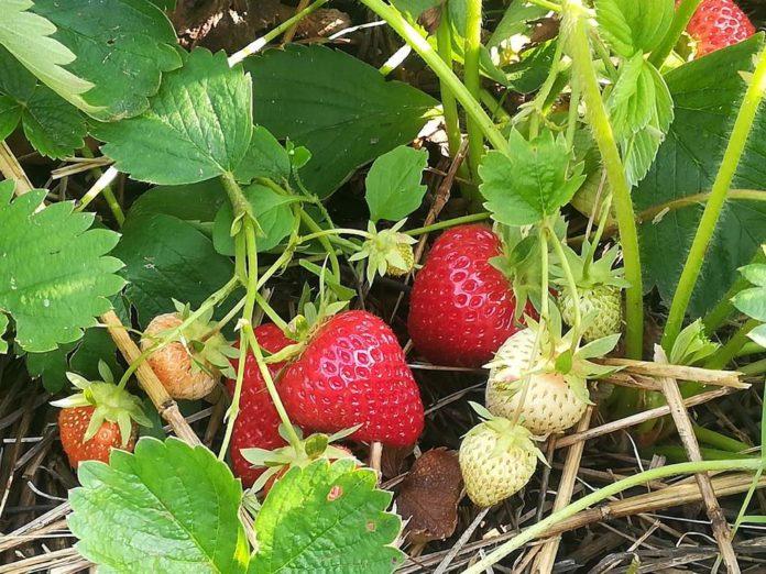 Ryzykownie i smacznie truskawkowe pole