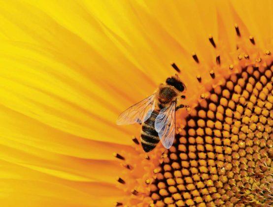 pszczoły 554x420 - Pszczoły - etatowi pracownicy ekosystemu