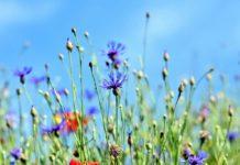 Kwietne łąki w miastach, nowoczesnym rozwiązaniem dla kosztownych trawników