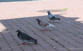 Gołębie. Kłopotliwi mieszkańcy miast