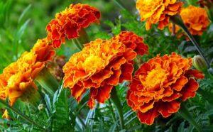 aksamitki 300x186 - Wrzosy, aksamitki, astry, ozdobne warzywa - kwiaty września
