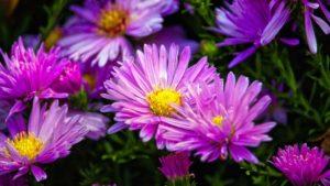 astry 300x169 - Wrzosy, aksamitki, astry, ozdobne warzywa - kwiaty września