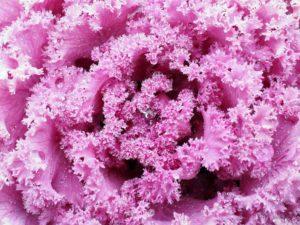 kapusta ozdobna 300x225 - Wrzosy, aksamitki, astry, ozdobne warzywa - kwiaty września