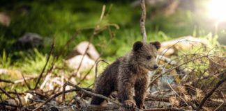 Blisko domostw niedźwiedzica z młodym