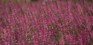 Wrzosy, aksamitki, astry, ozdobne warzywa - kwiaty września