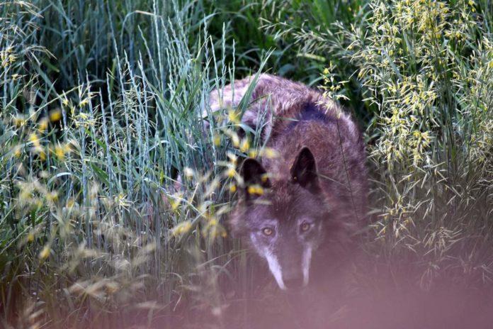 Dzikie zwierzęta podchodzą pod domy – apel wójta Komańczy