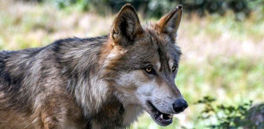 Wilki rozszarpały psa. Czytelnicy z Kulasznego zaniepokojeni