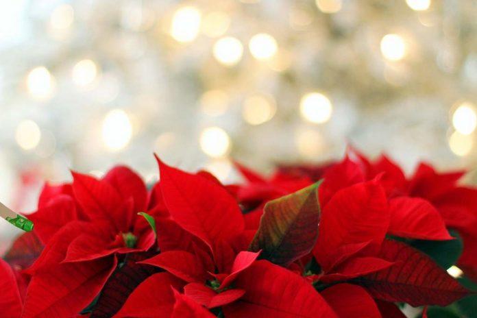 Gwiazda betlejemska – kwiat, który tworzy atmosferę świąt