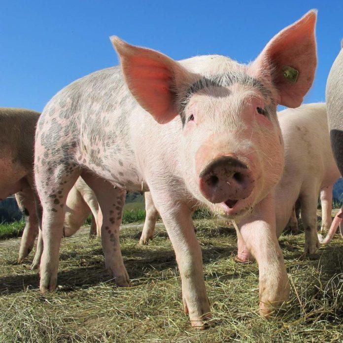 Informacja dla rolników prowadzących gospodarstwa na terenach objętych afrykańskim pomorem świń