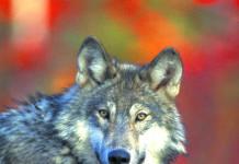 Liga Ochrony Przyrody: Nie taki wilk straszny