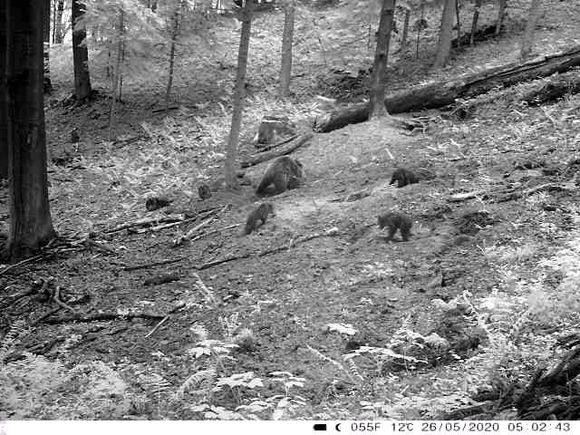 """Niedźwiedzica z młodymi """"patroluje"""" okolice"""
